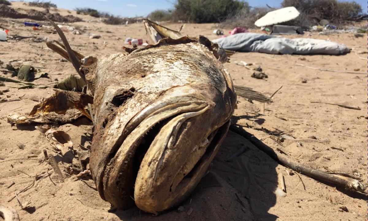 Así venció el Cártel del Dragón al gobierno mexicano para traficar pez totoaba